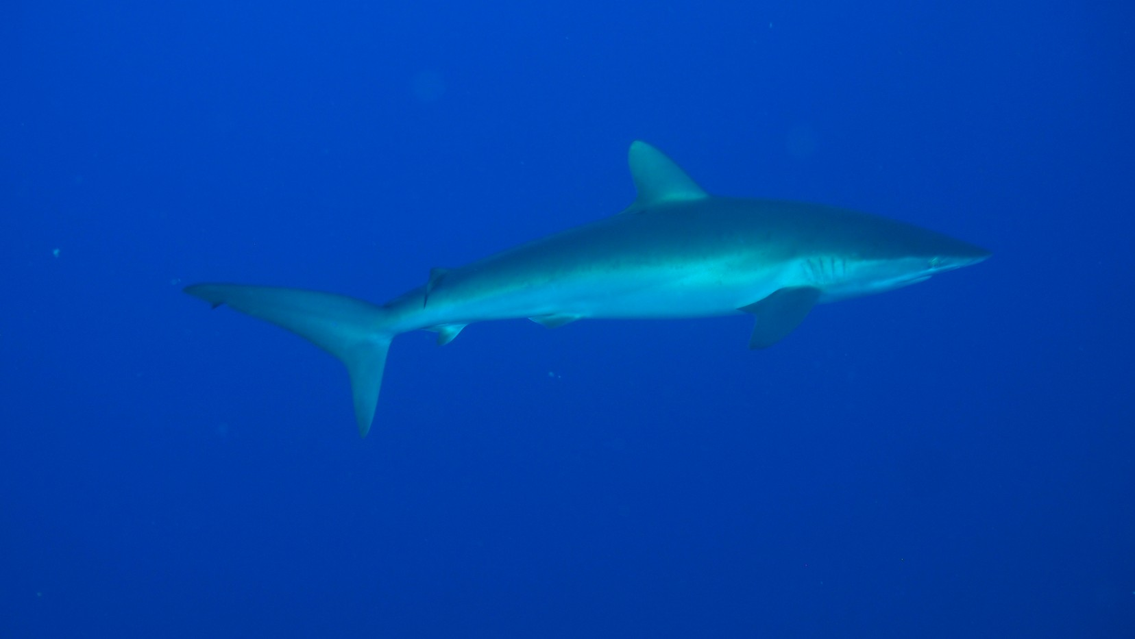 a solitary silky shark in the blue