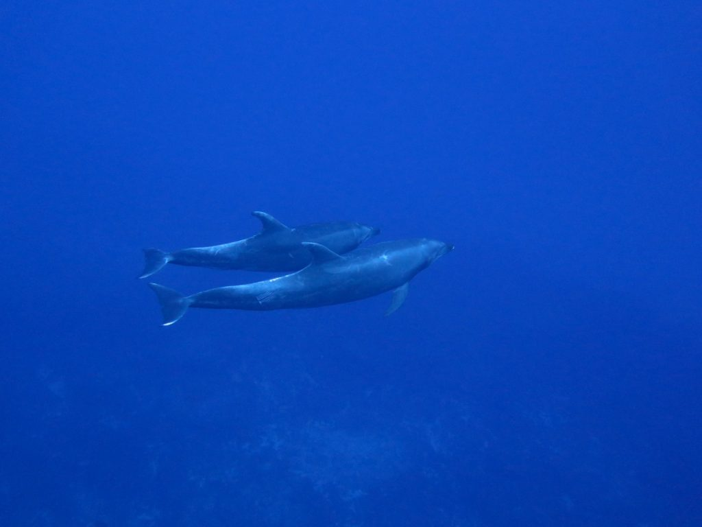 a pair of bottlenose dolphins swimming together