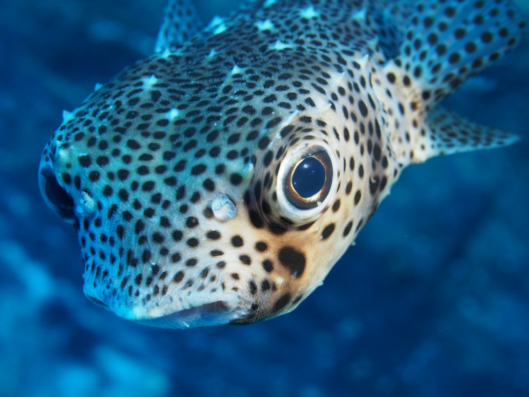 a pufferfish eyes the camera at close range