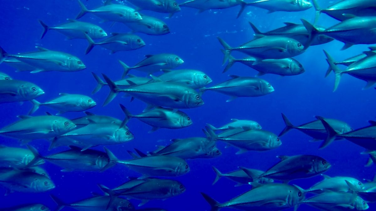 a huge school of jackfish in formation