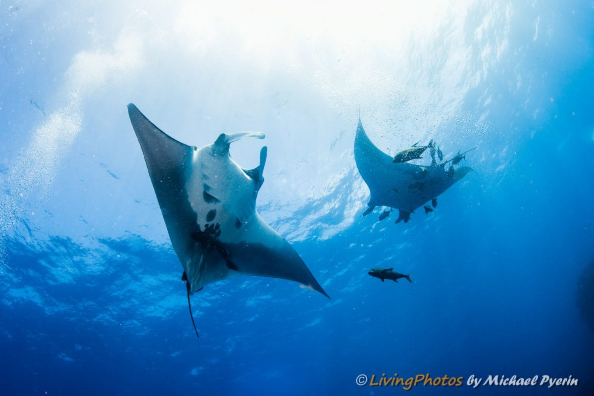 two giant mantas looking playful in the revillagigedo waters, photo by michael pyerin