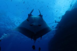 the silhouette of a giant manta ascending from the deep