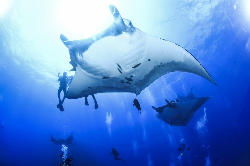 Giant Mantas at Socorro