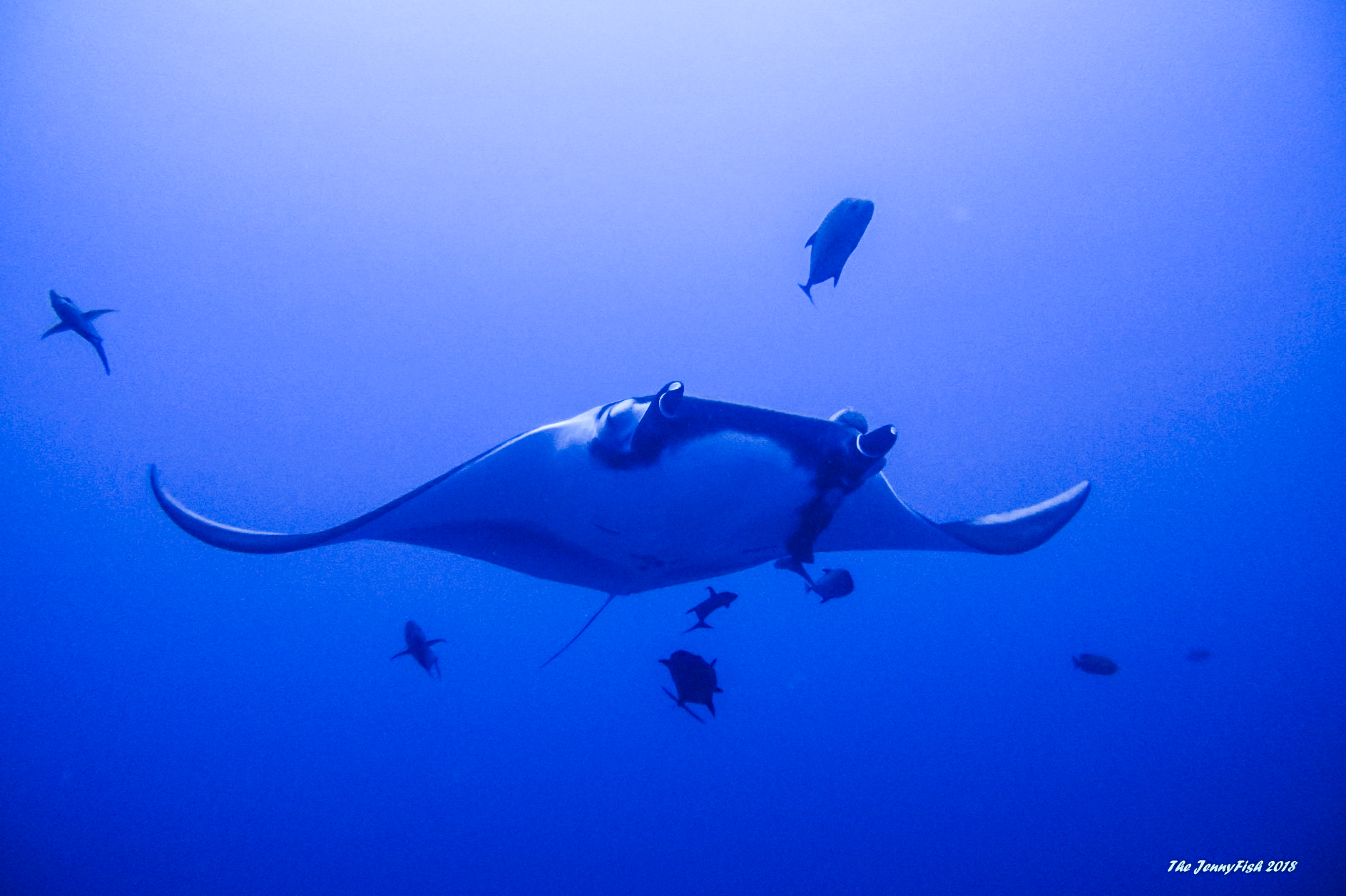 Magnificent Manta by The Jenny Fish