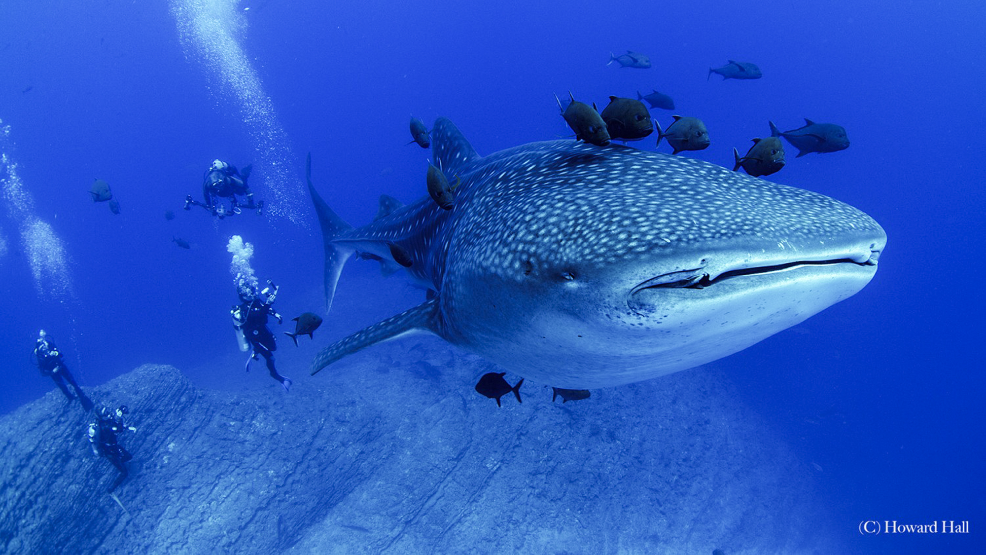 Whale Shark at Socorro by Howard Hall