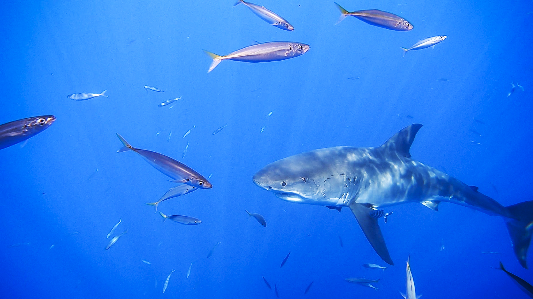 Great White Cage Diving at Guadalupe Island