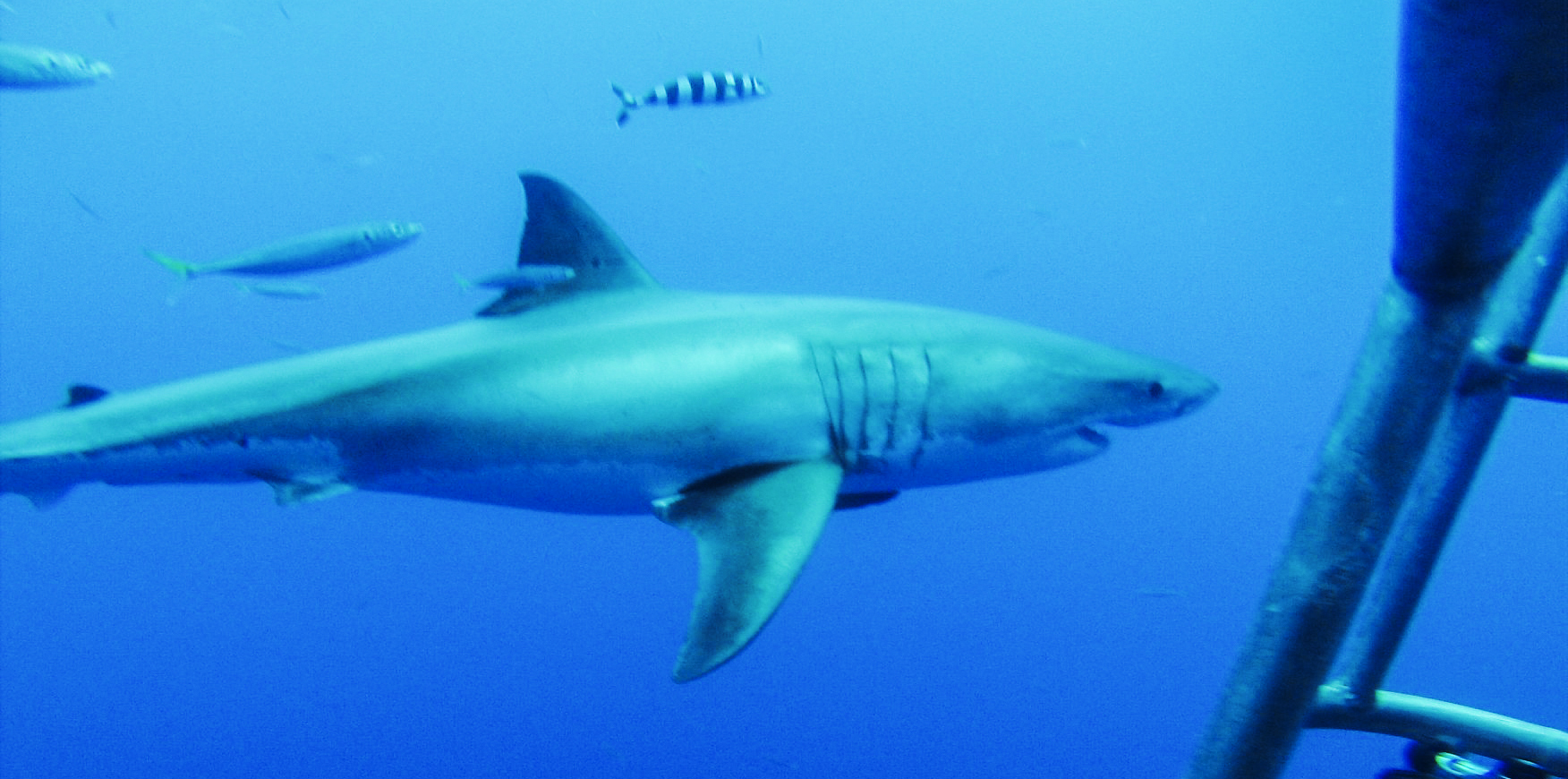Our Divemasters are Loving the Shark Action at Guadalupe