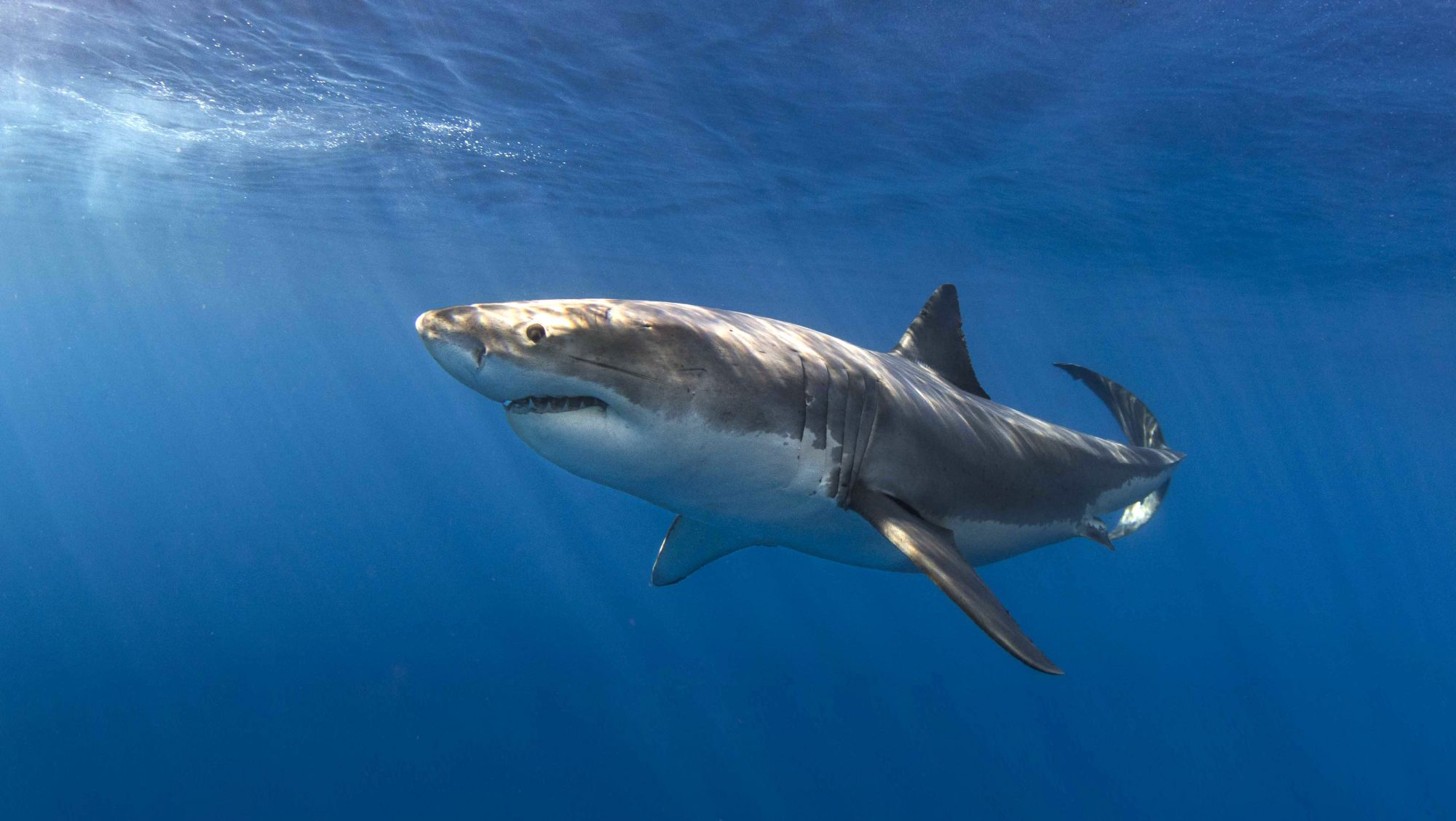Great White Shark, Photo by Craig Dietrich