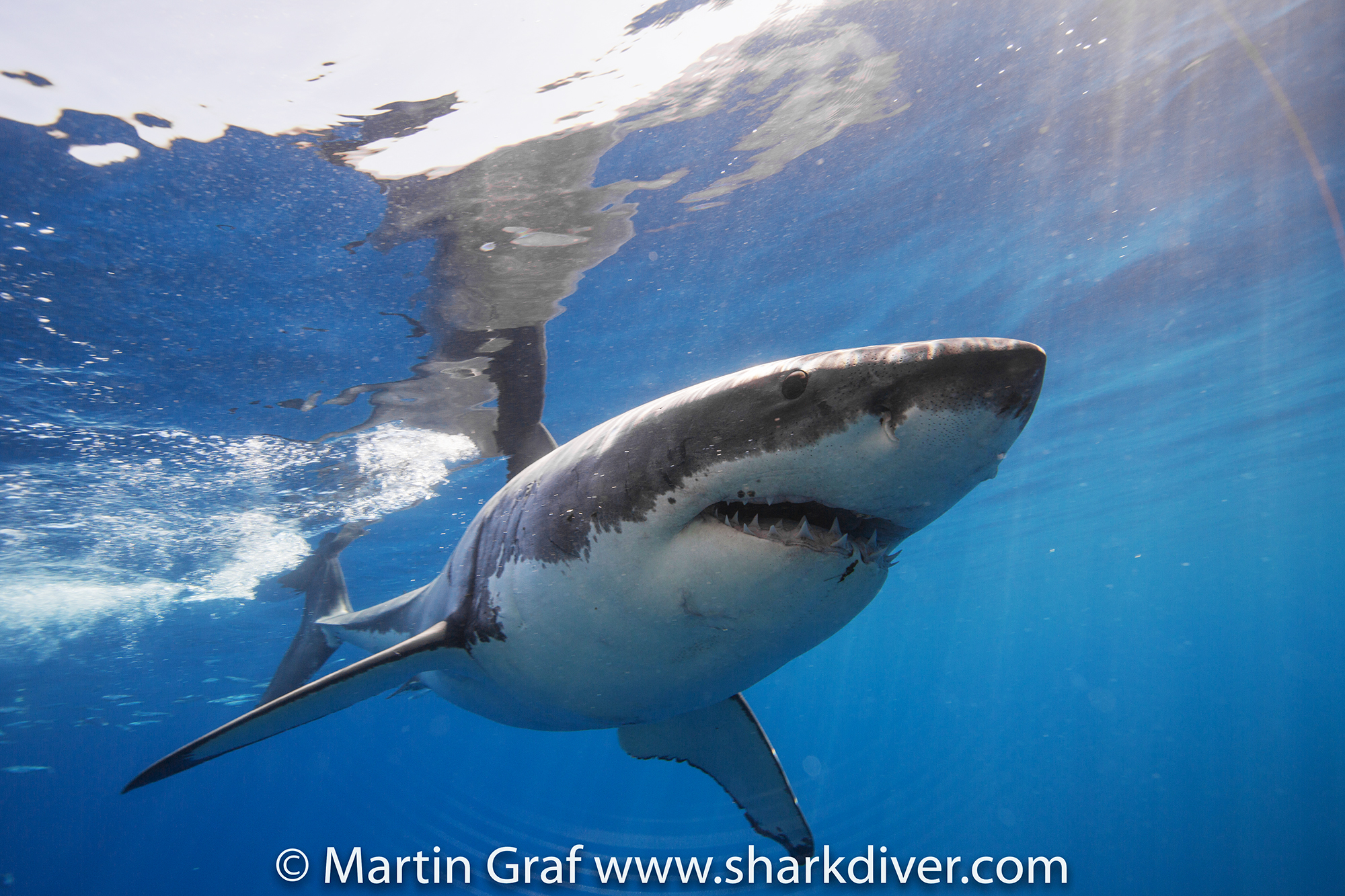 Great white shark by Martin Graf of Shark Diver