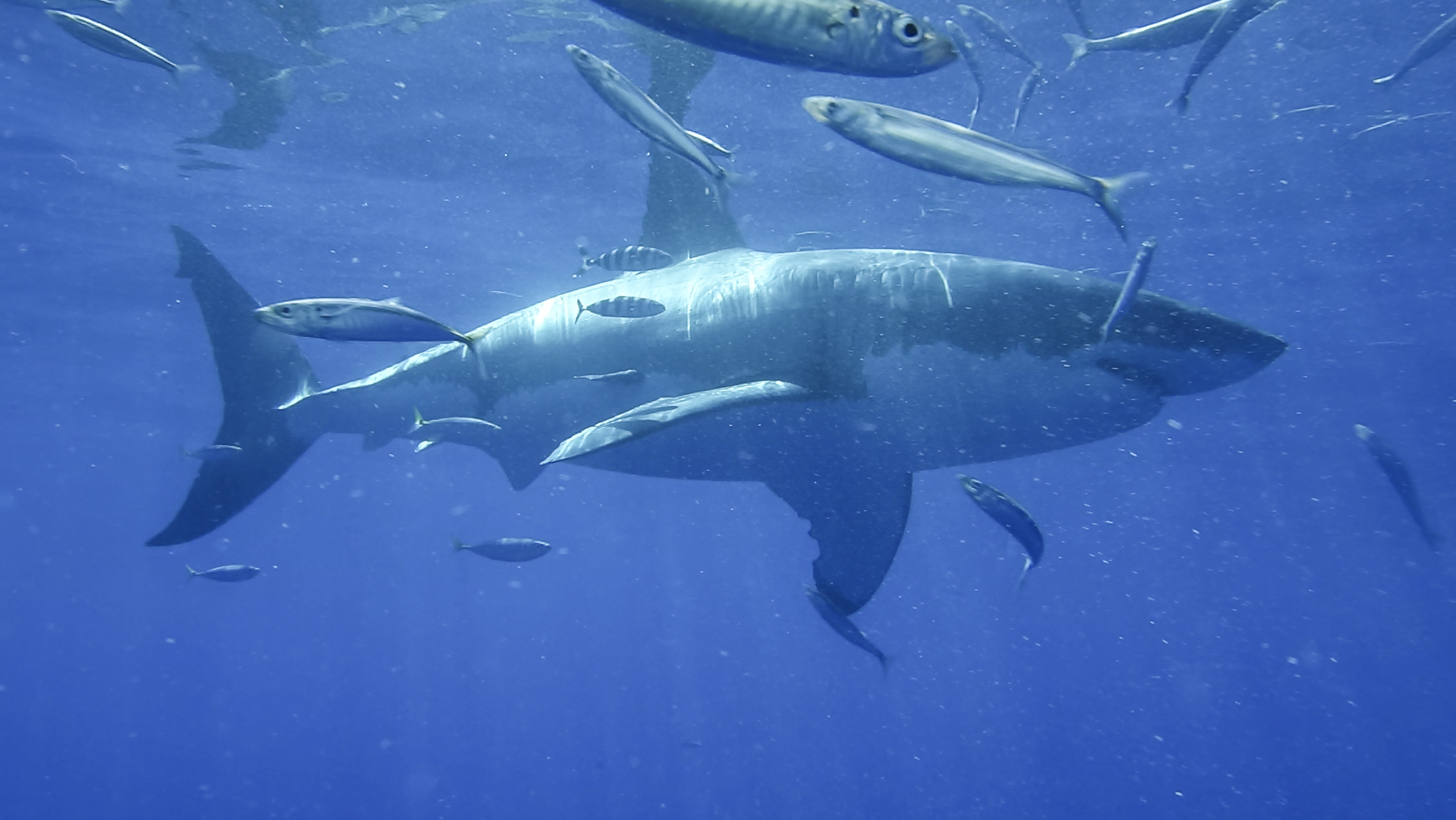 Great white shark swimming at Guadalupe