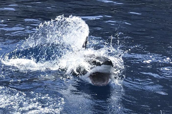 Shark breach at Guadalupe Island