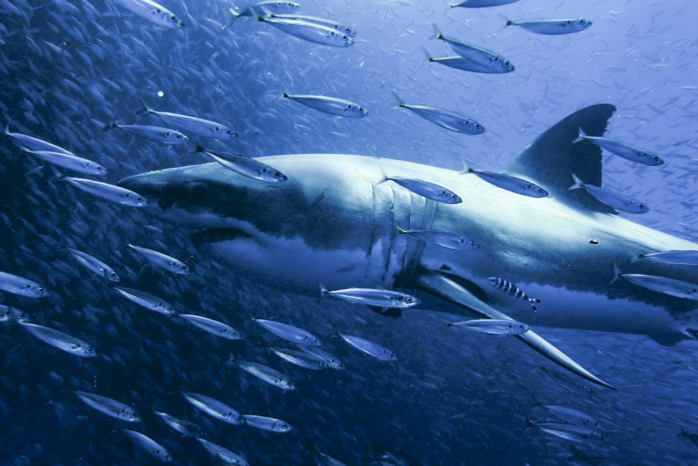 Great white surrounded by fish at Guadalupe Island