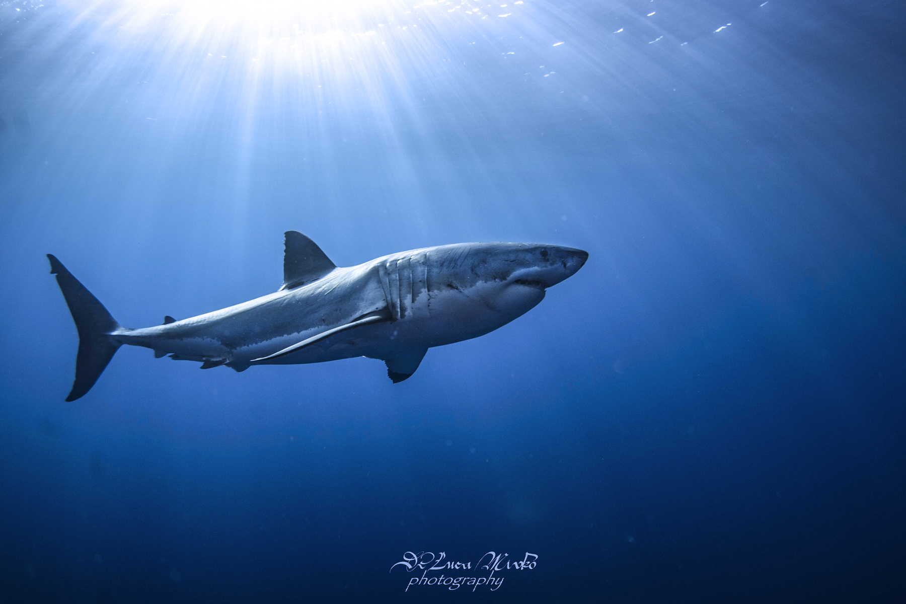 Great White Shark Diving at Guadalupe, Photo by Divemaster Mirko