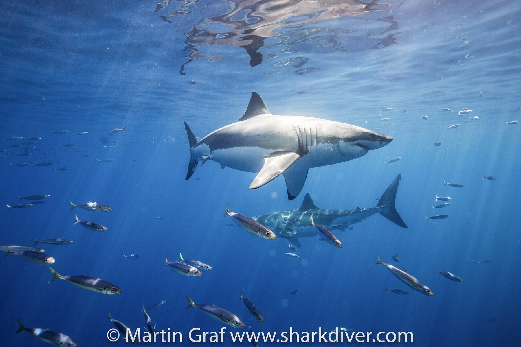 The Sharks Put On a Show at Guadalupe