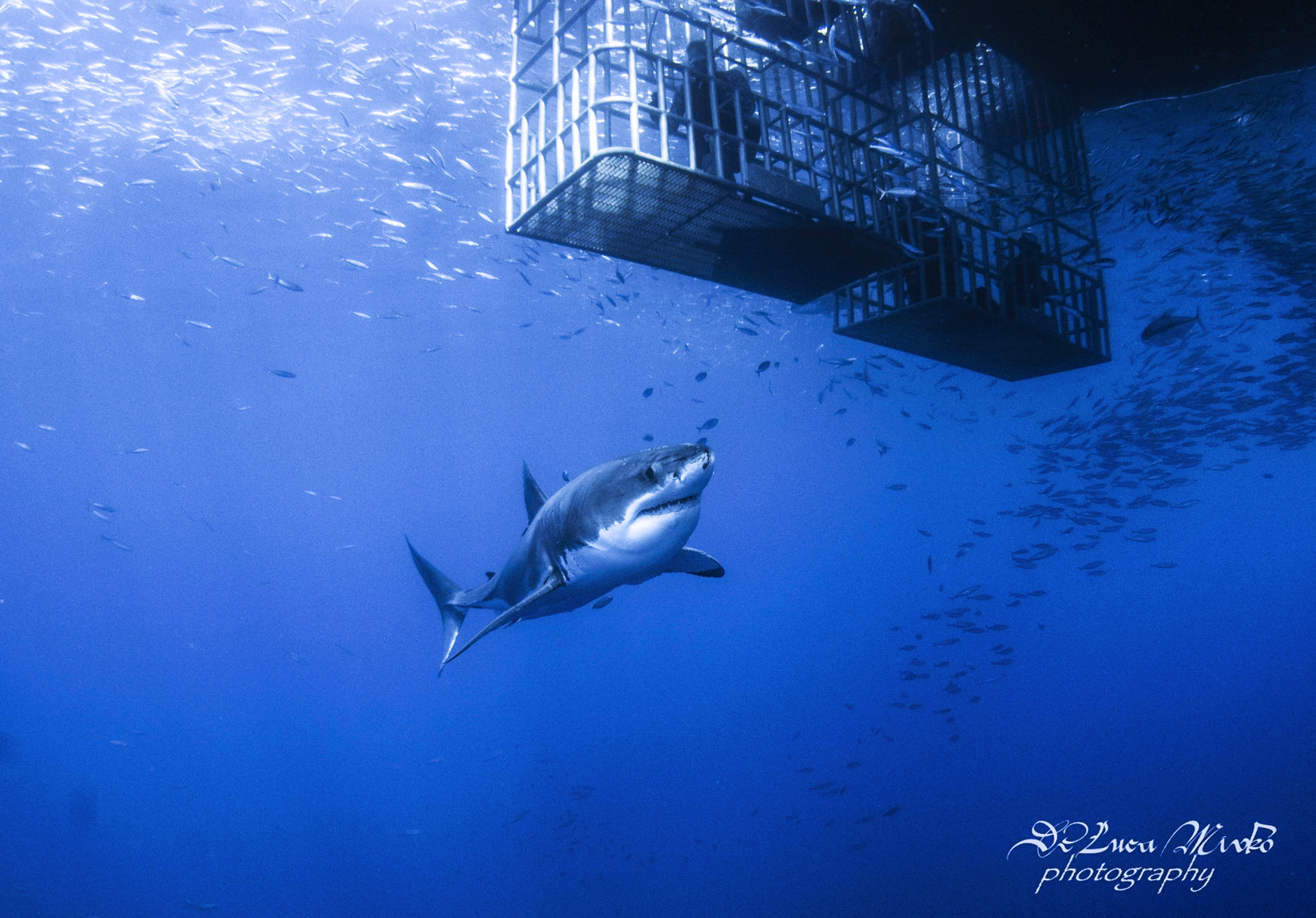 White shark swims under the cages of the Nautilus Explorer. Photo by Divemaster Mirko