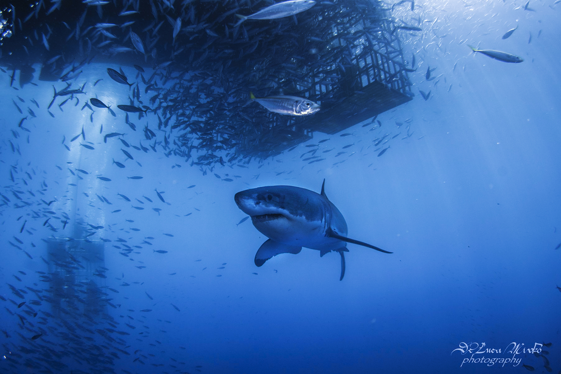Great white under the cage, Photo by divemaster Mirko