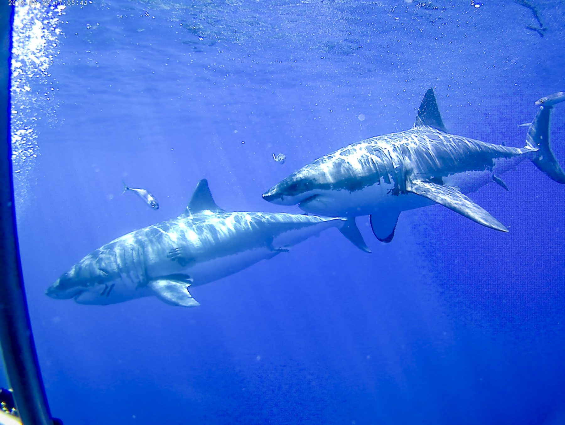 Two great whites at Guadalupe, Photo by Robin Brown