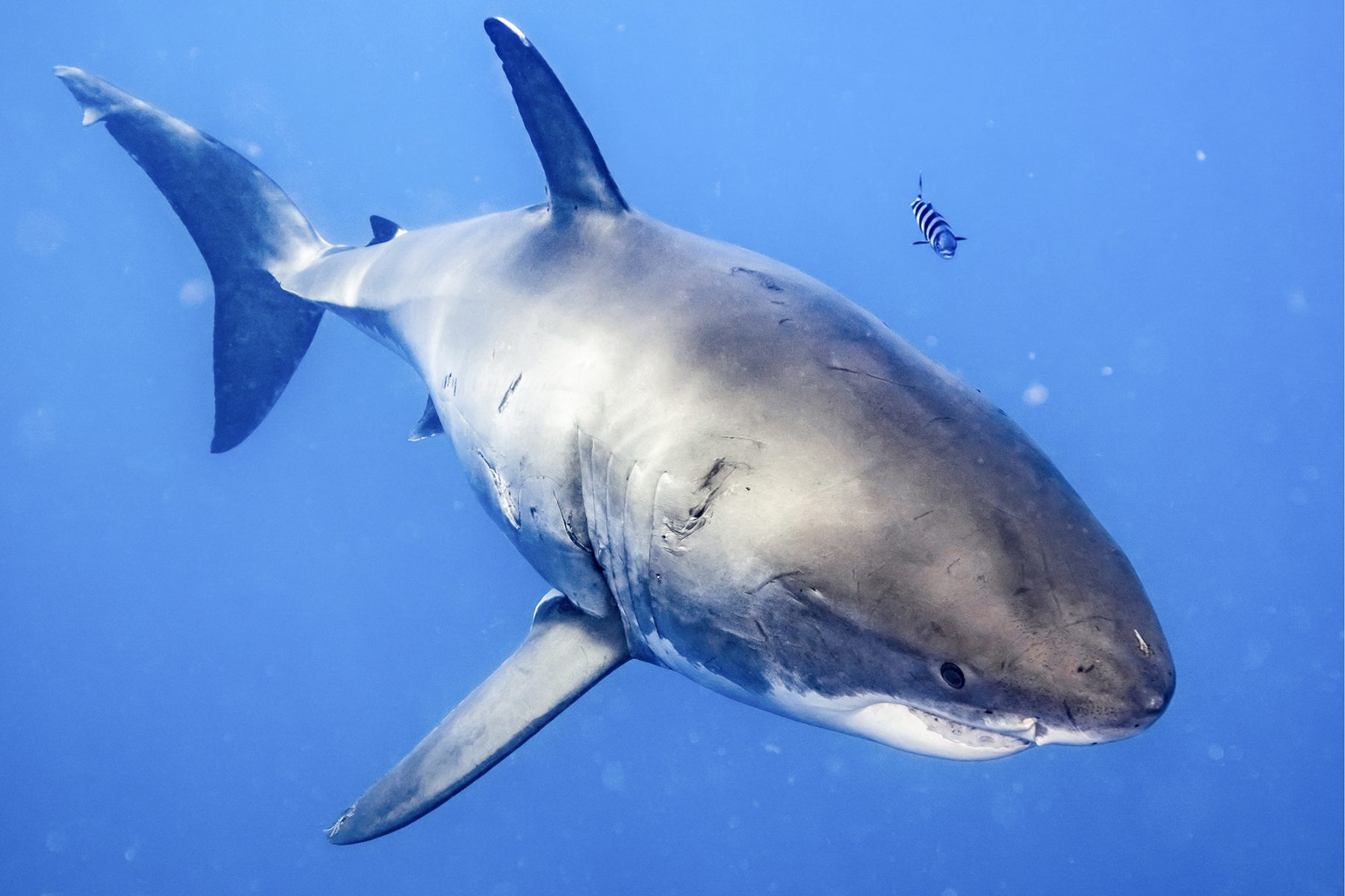 An Unforgettable Experience with the Great White Sharks