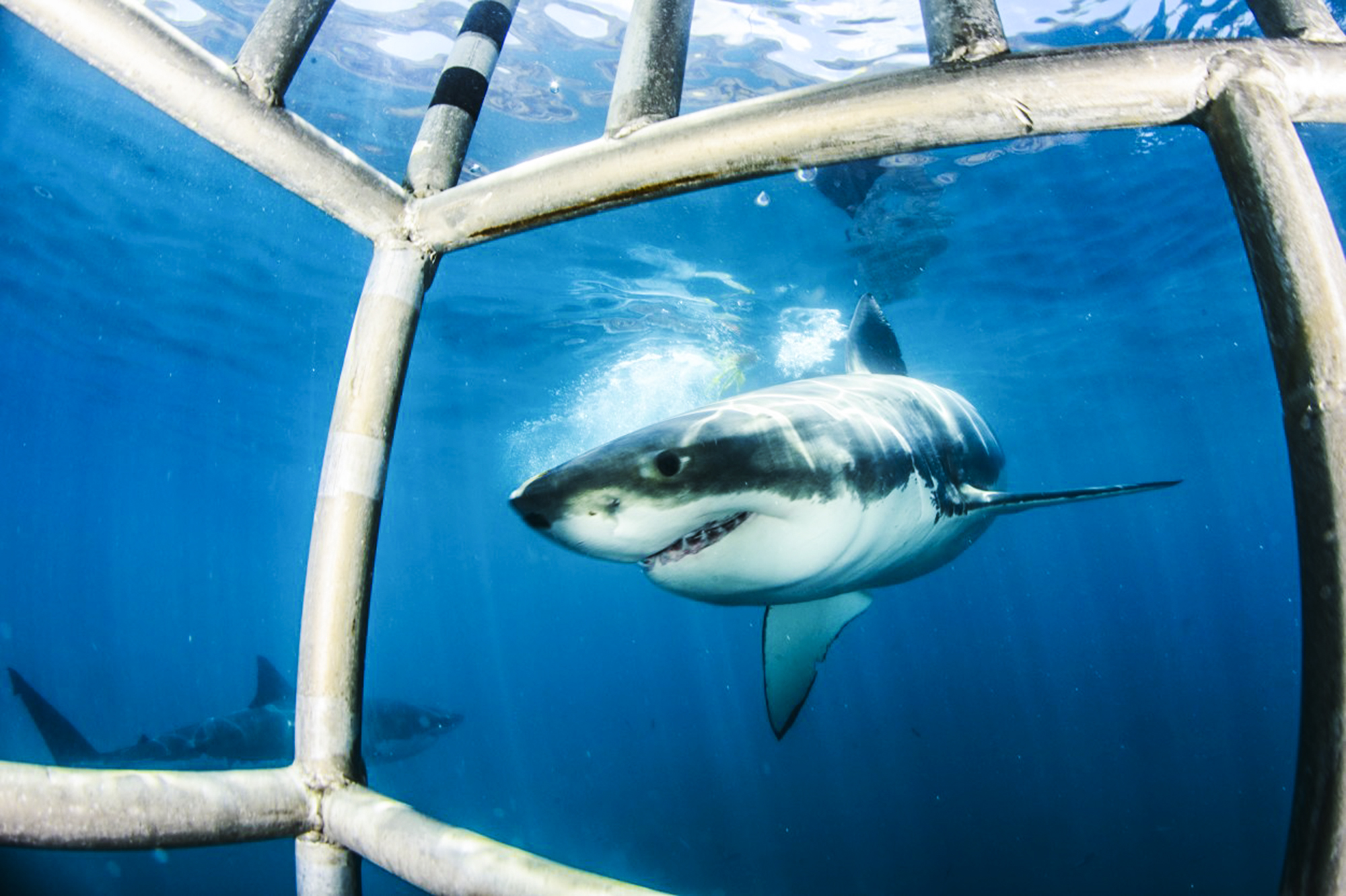 Great white outside a diving cage