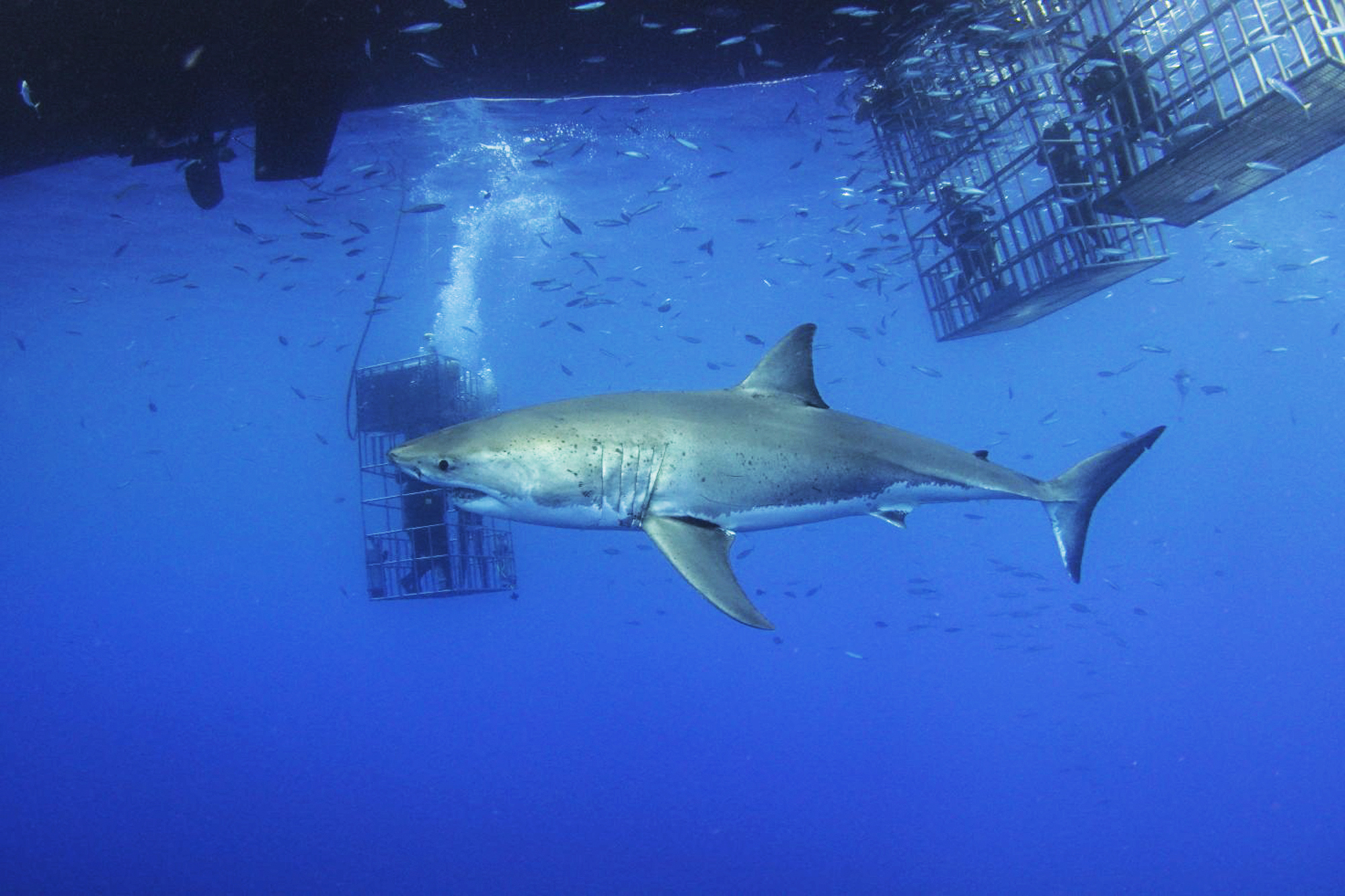 "Great white ""Legend."" Photo by divemaster Mirko"