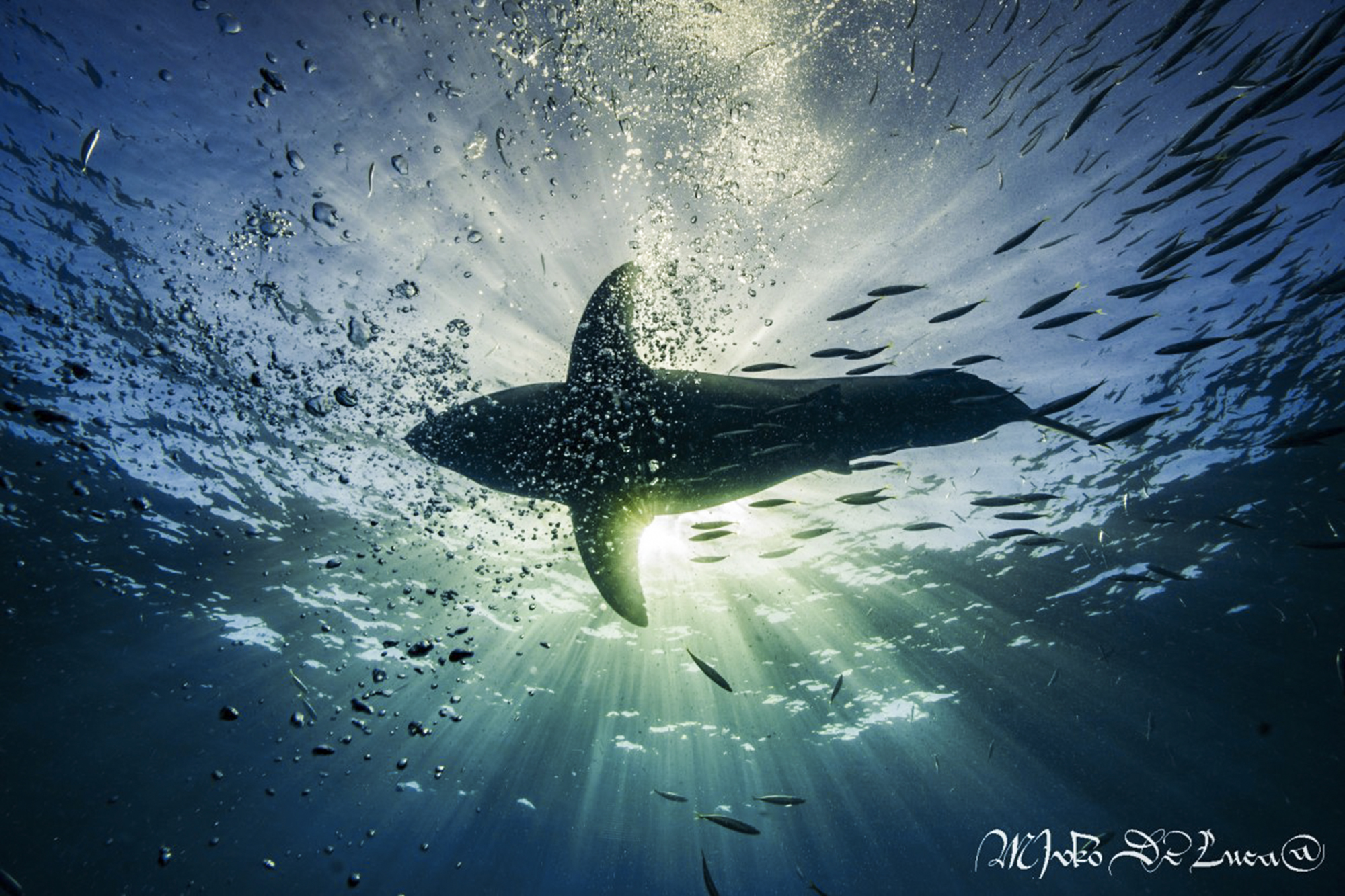 Underneath a great white, photo by divemaster Mirko
