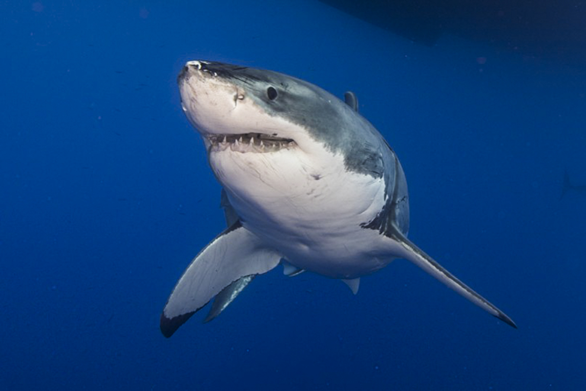 A great white poses for a portrait