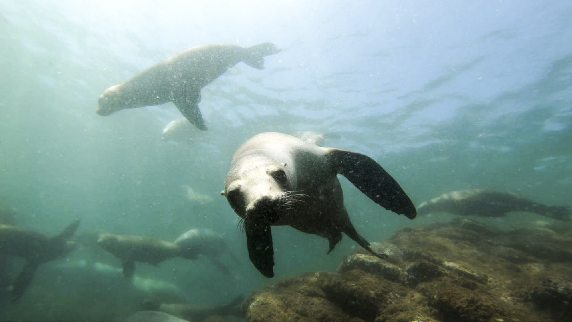 Sea lions play at Bahia de los Angeles