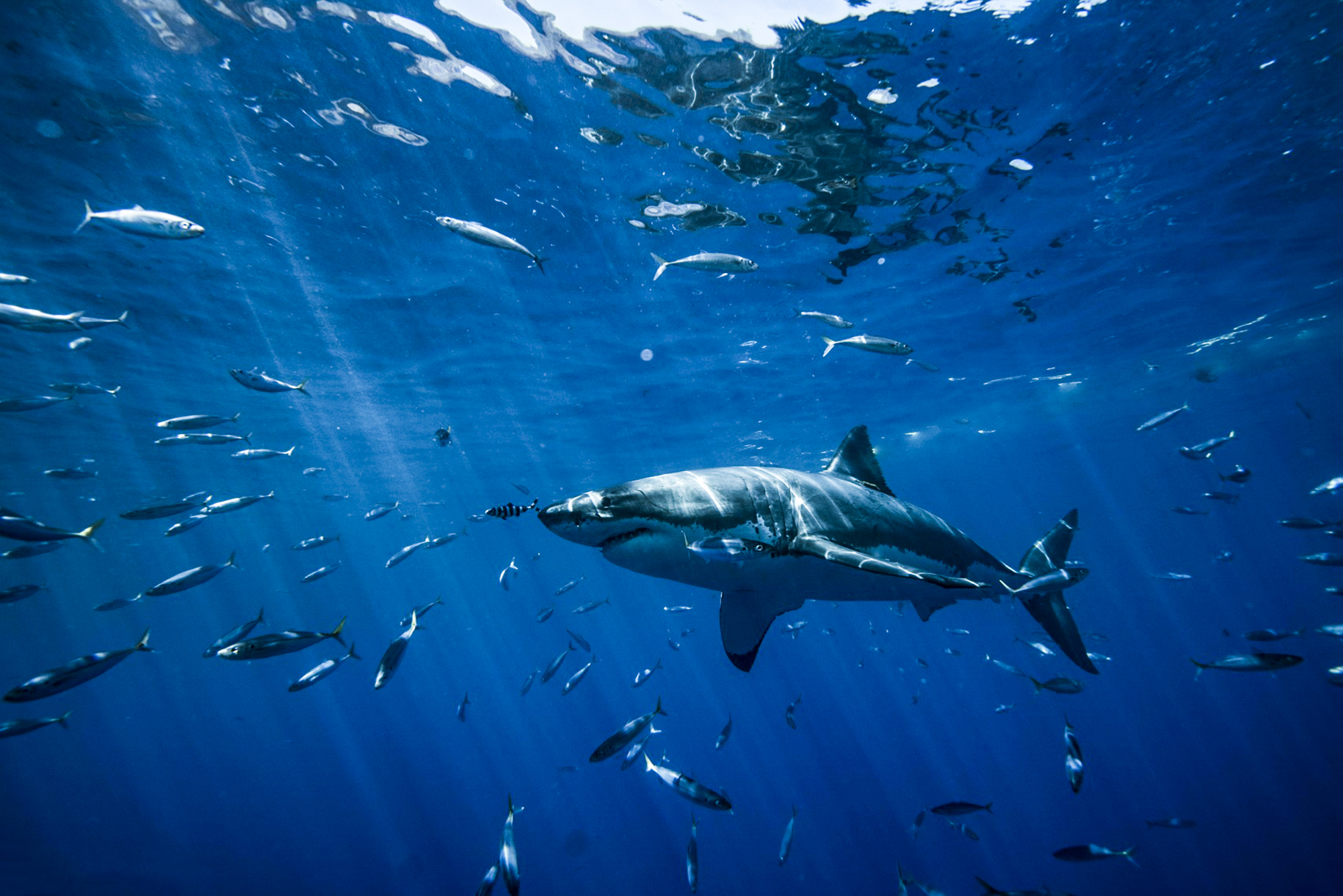 A peaceful moment underwater with a great white, photo by Saunders Drukker