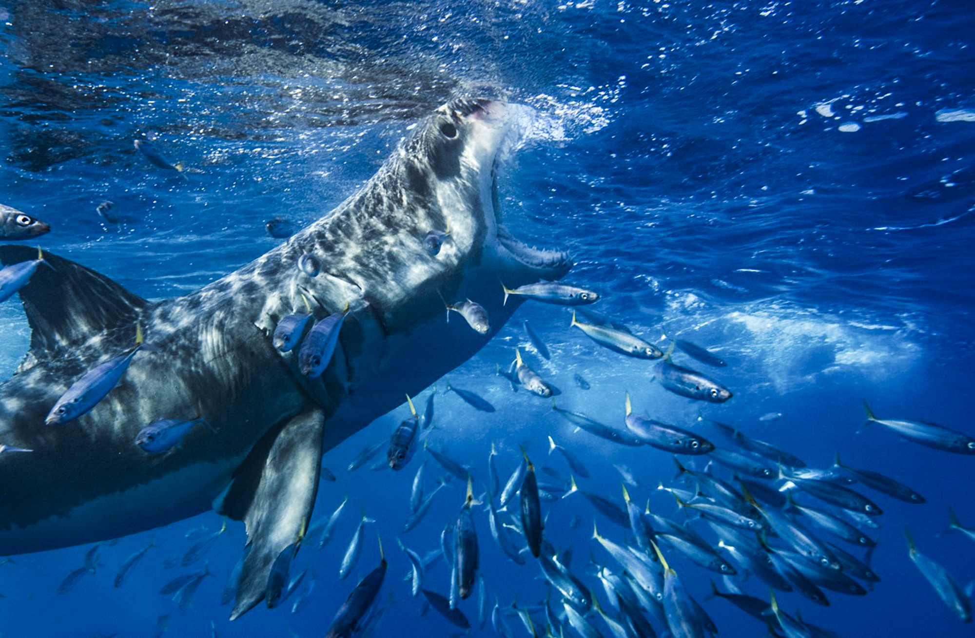 A great white goes for the tuna, photo by Saunders Drukker