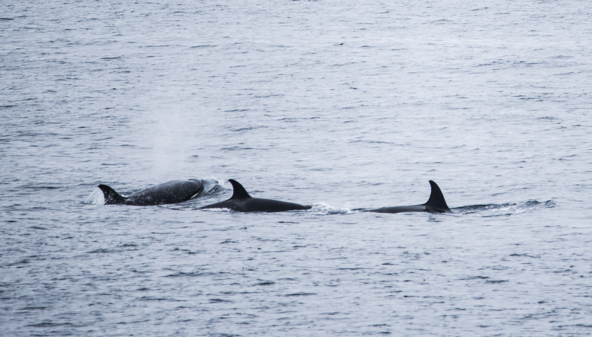 Orcas and Great Whites in One Trip?!