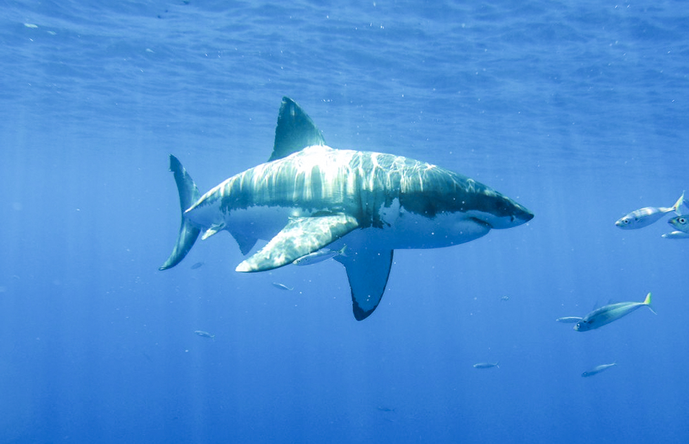A Great White at Guadalupe, Photo by Elizabeth Coronado