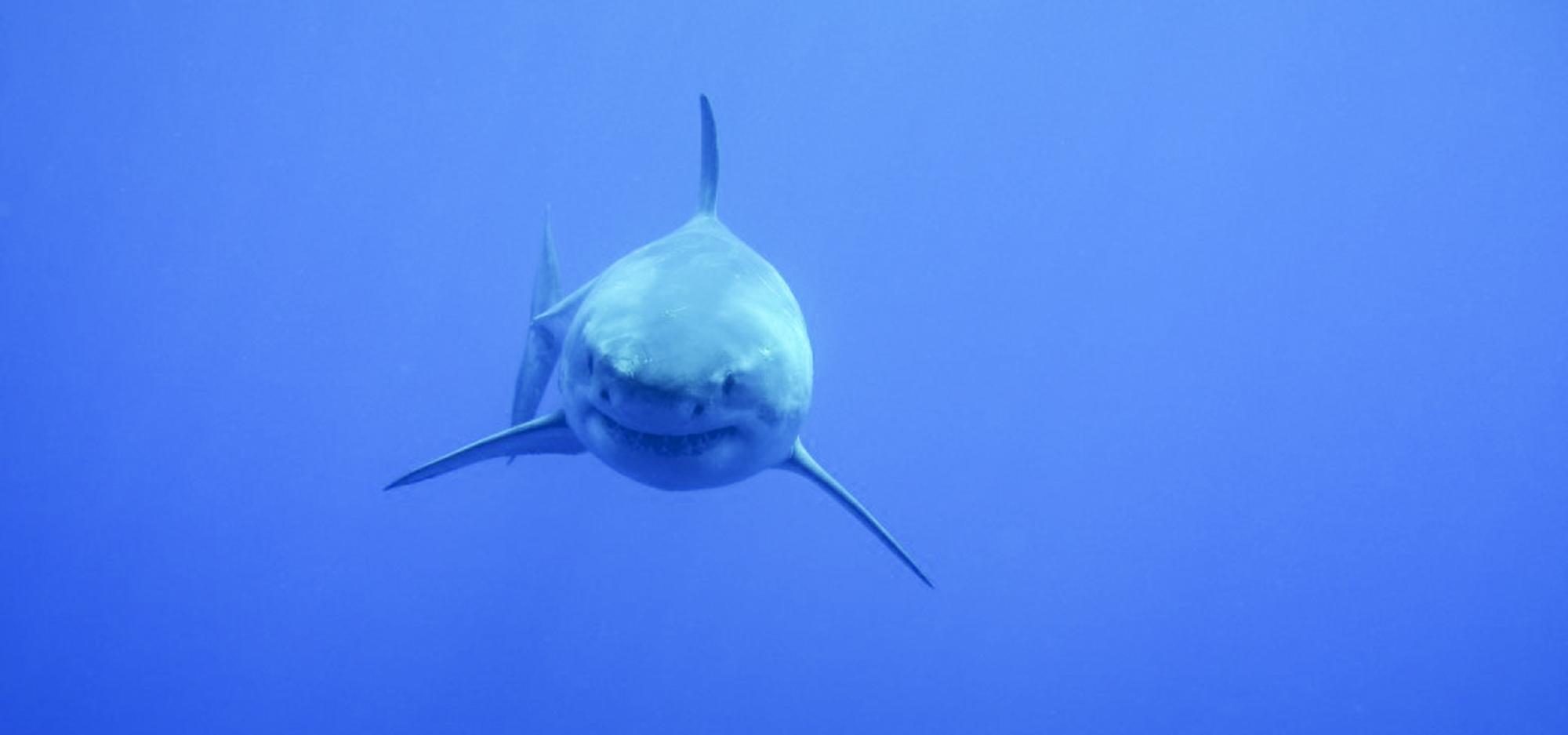 A great white swims toward the camera, photo by Leah Bamford