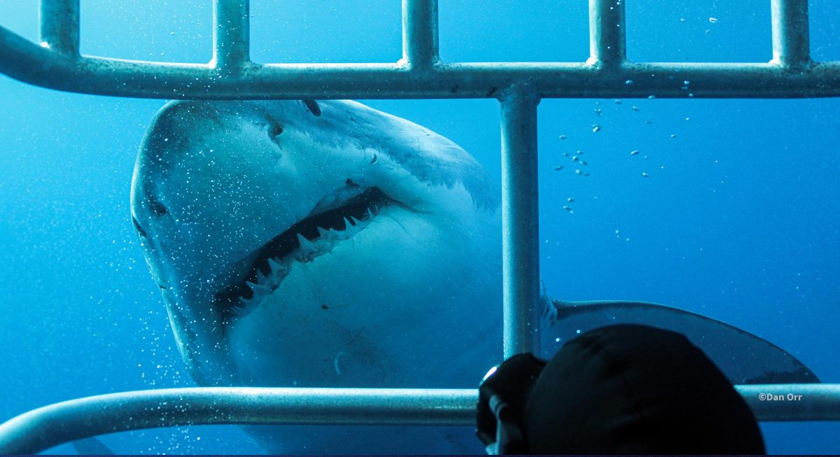 A great white close by the shark diving cage, photo by Dan Orr