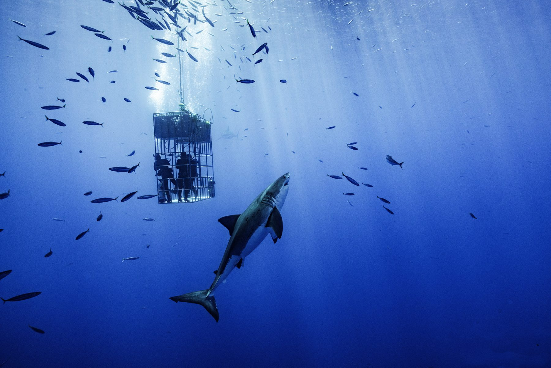 A submersible cage and great white shark, Photo by Sam Zhang