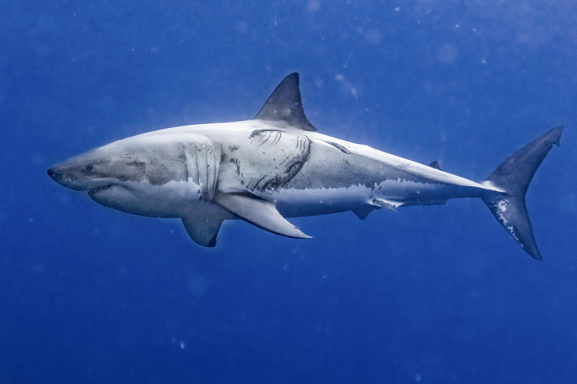 Guest Blog: How White Sharks Really Behave at Guadalupe Island