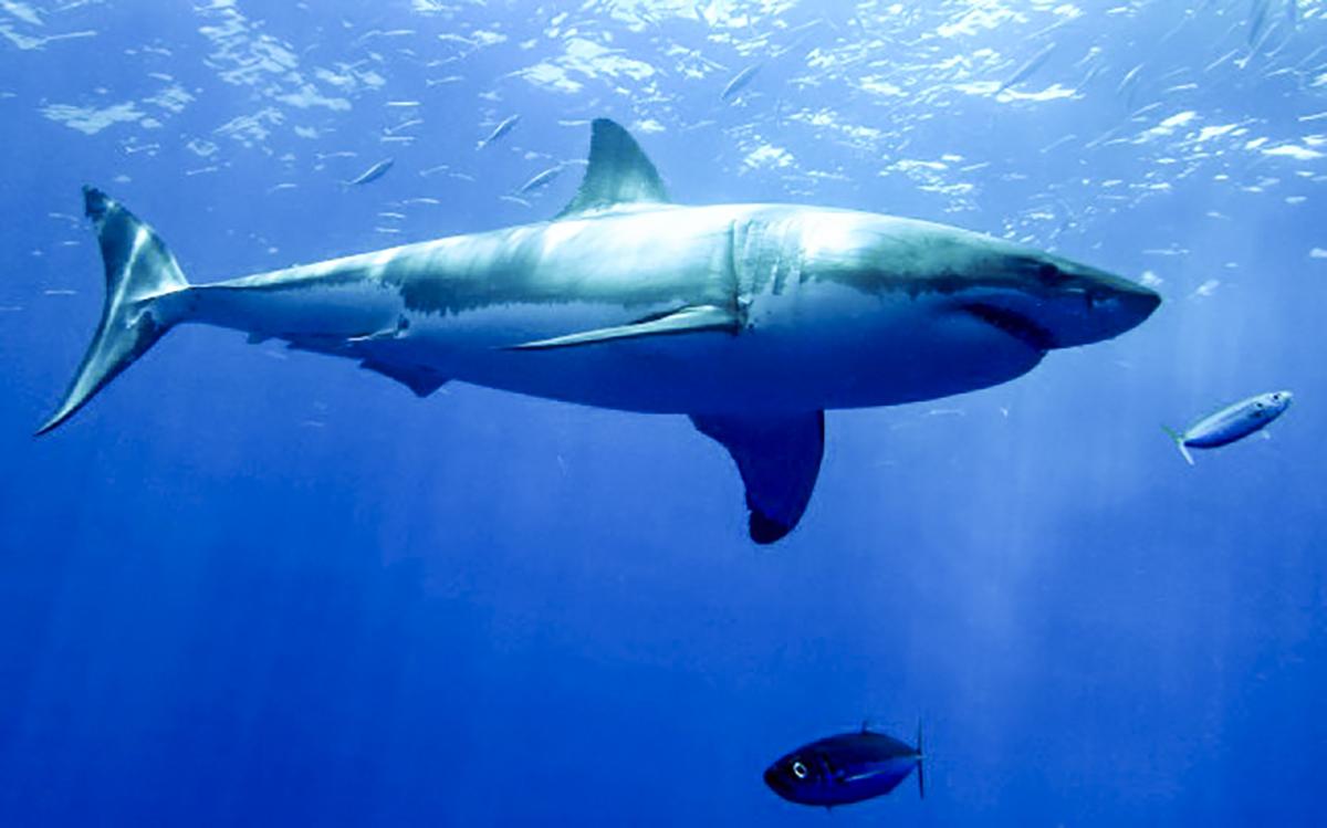 Rhett the great white shark