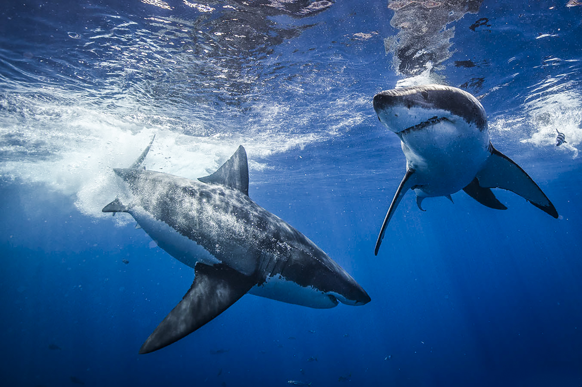 Two great whites, Photo by Scott Davis