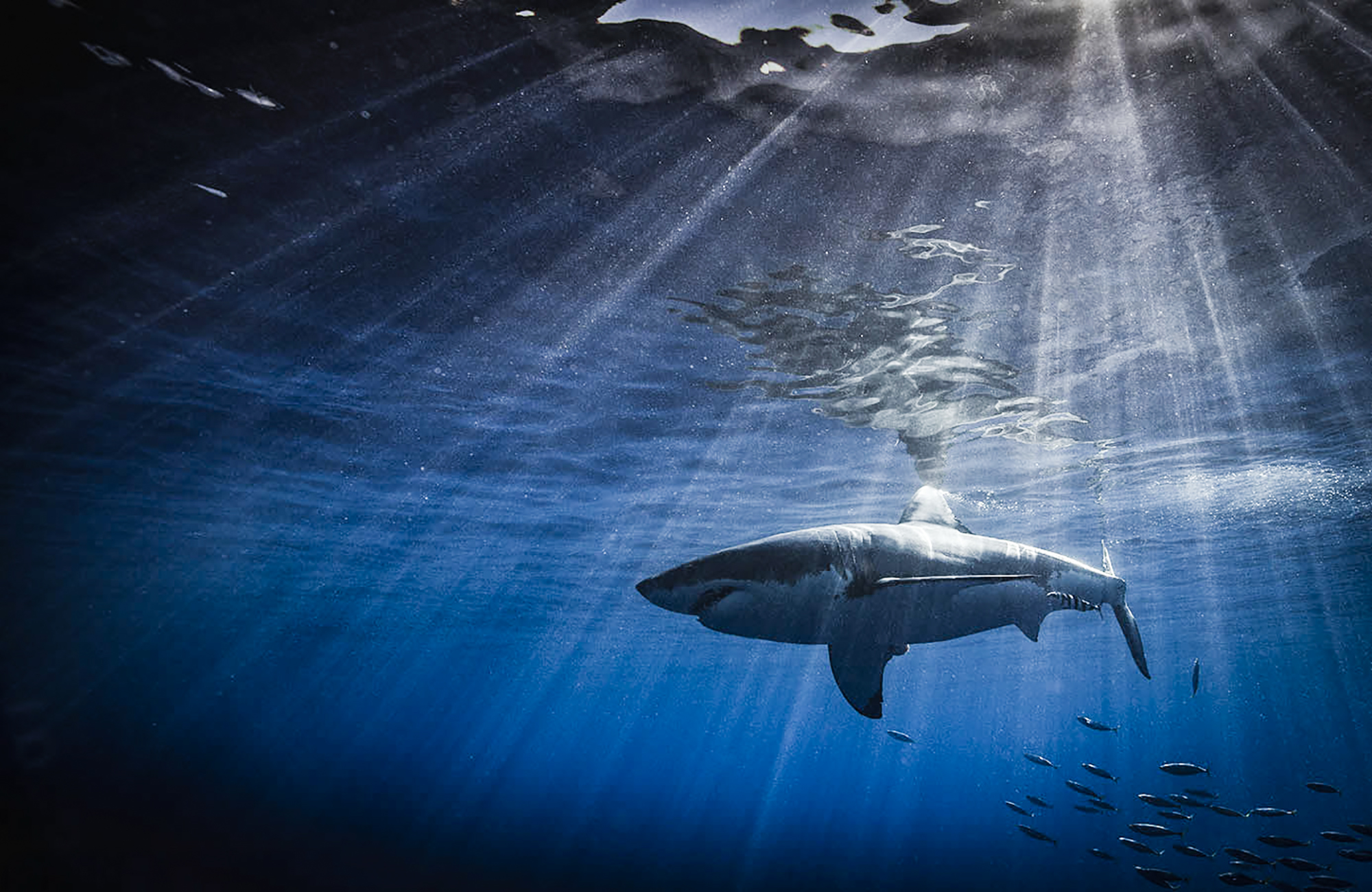 Shark in a sunbeam, Photo by Scott Davis