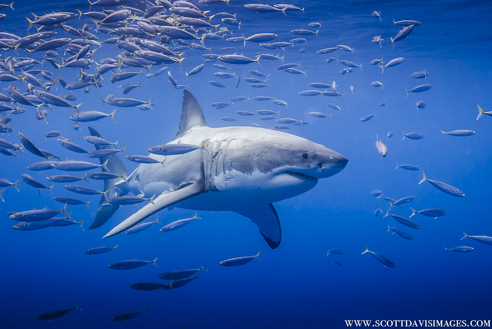 A shark emerges from a school of fish, Photo by Scott Davis