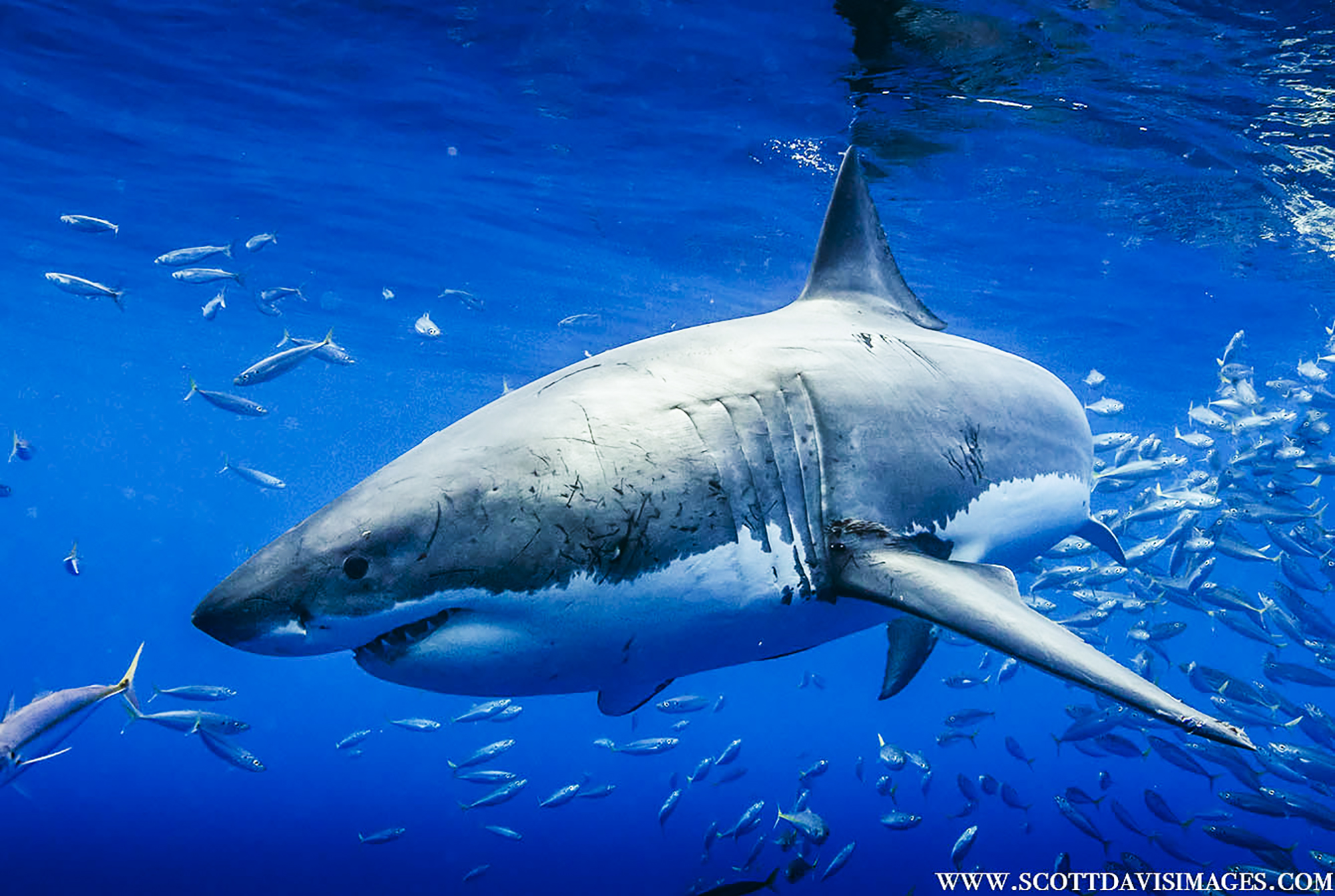 Cheeseman's Guadalupe Great White Shark Trip