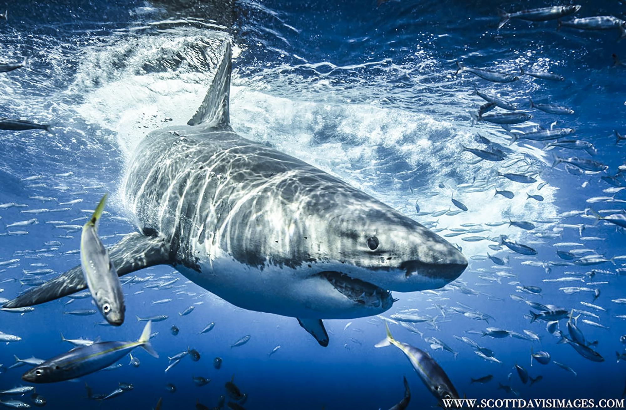A great white hunts for tuna, Photo by Scott Davis