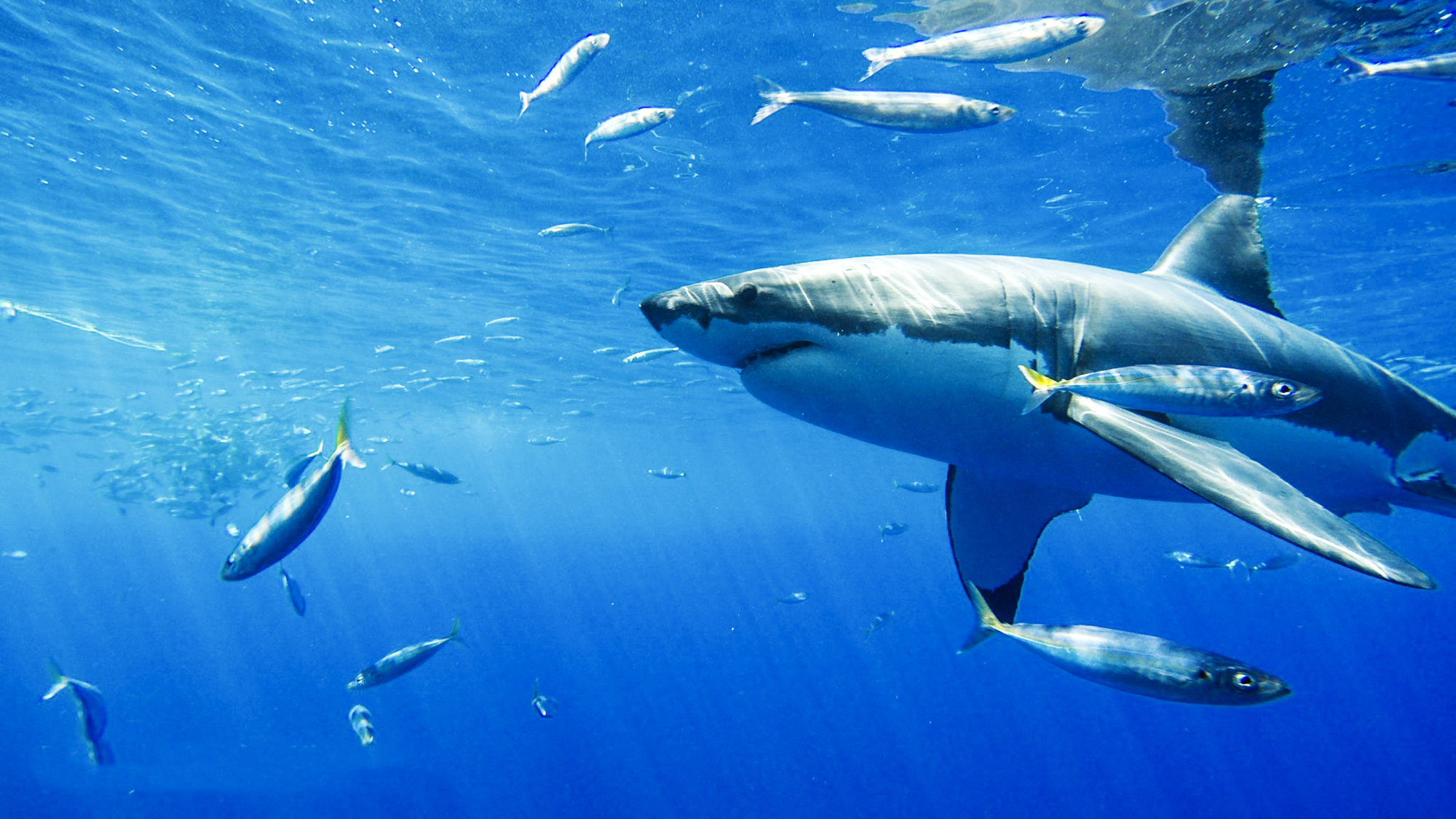 A whitye shark, photo by Louisa Kierman