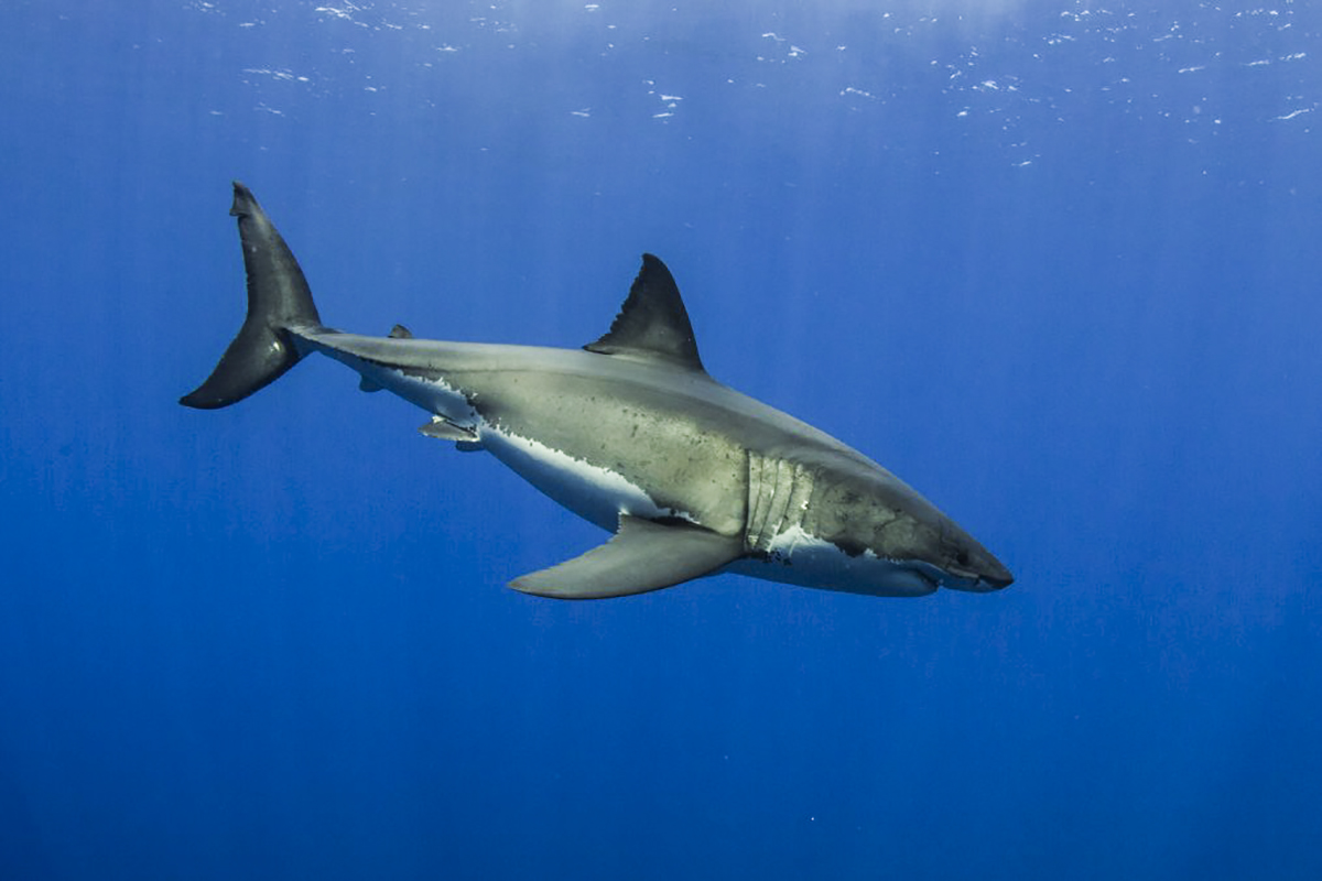Excellent visibility at Guadalupe allows for great shark photos!