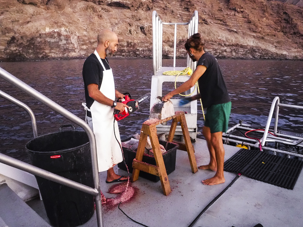 Divemasters get the tuna ready for a day of wrangling