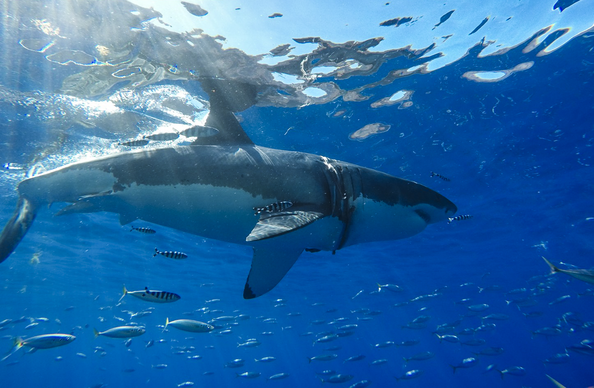 A large great white at Guadalupe Island