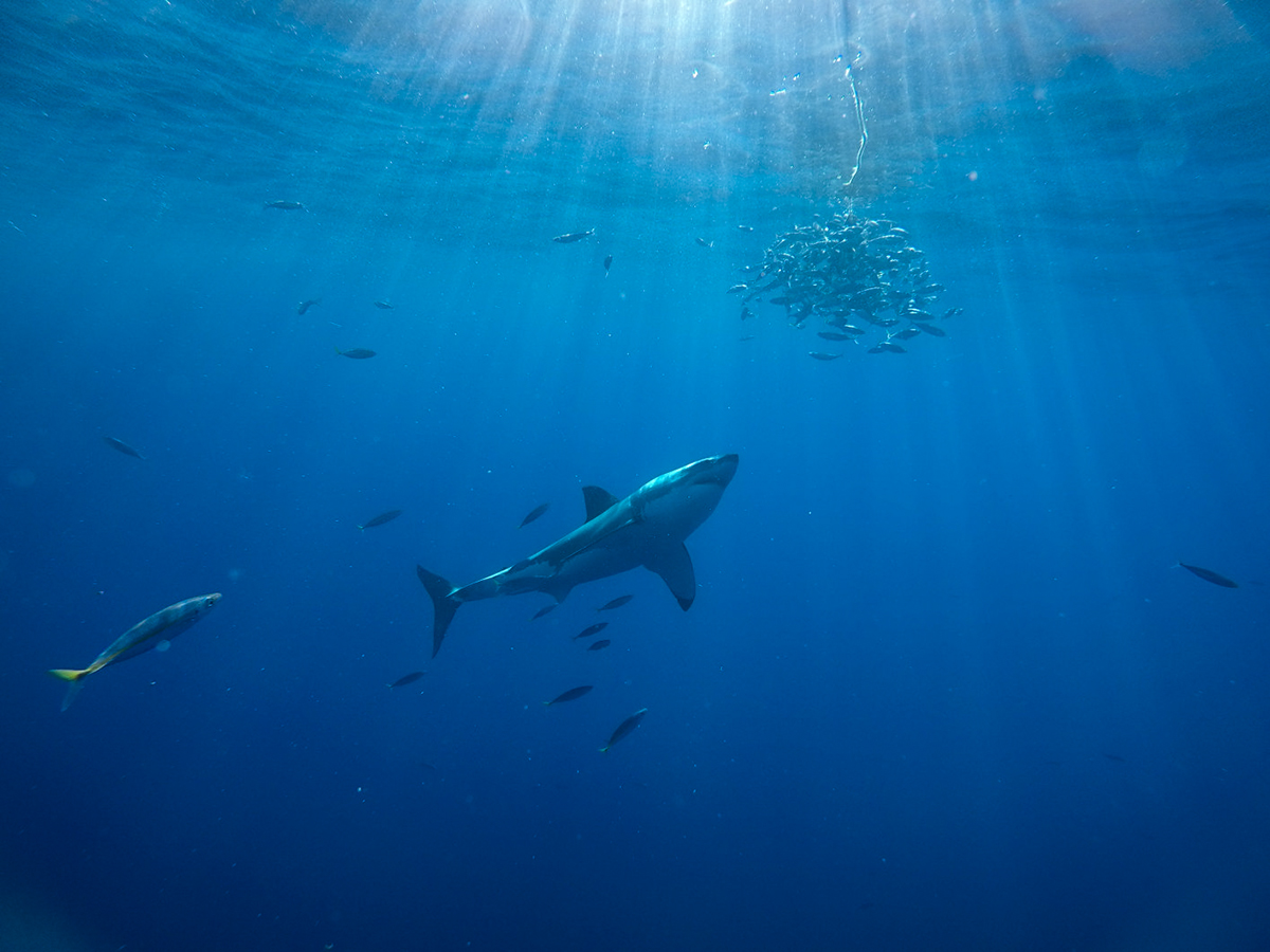 A great white approaches the tuna bait, clustered with mackrel.