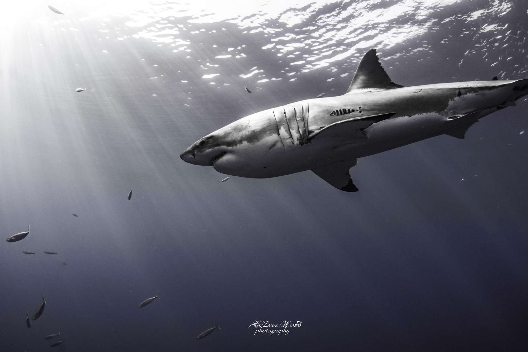 A great white glides through crystal clear water at Guadalupe. Photo by divemaster Mirko.