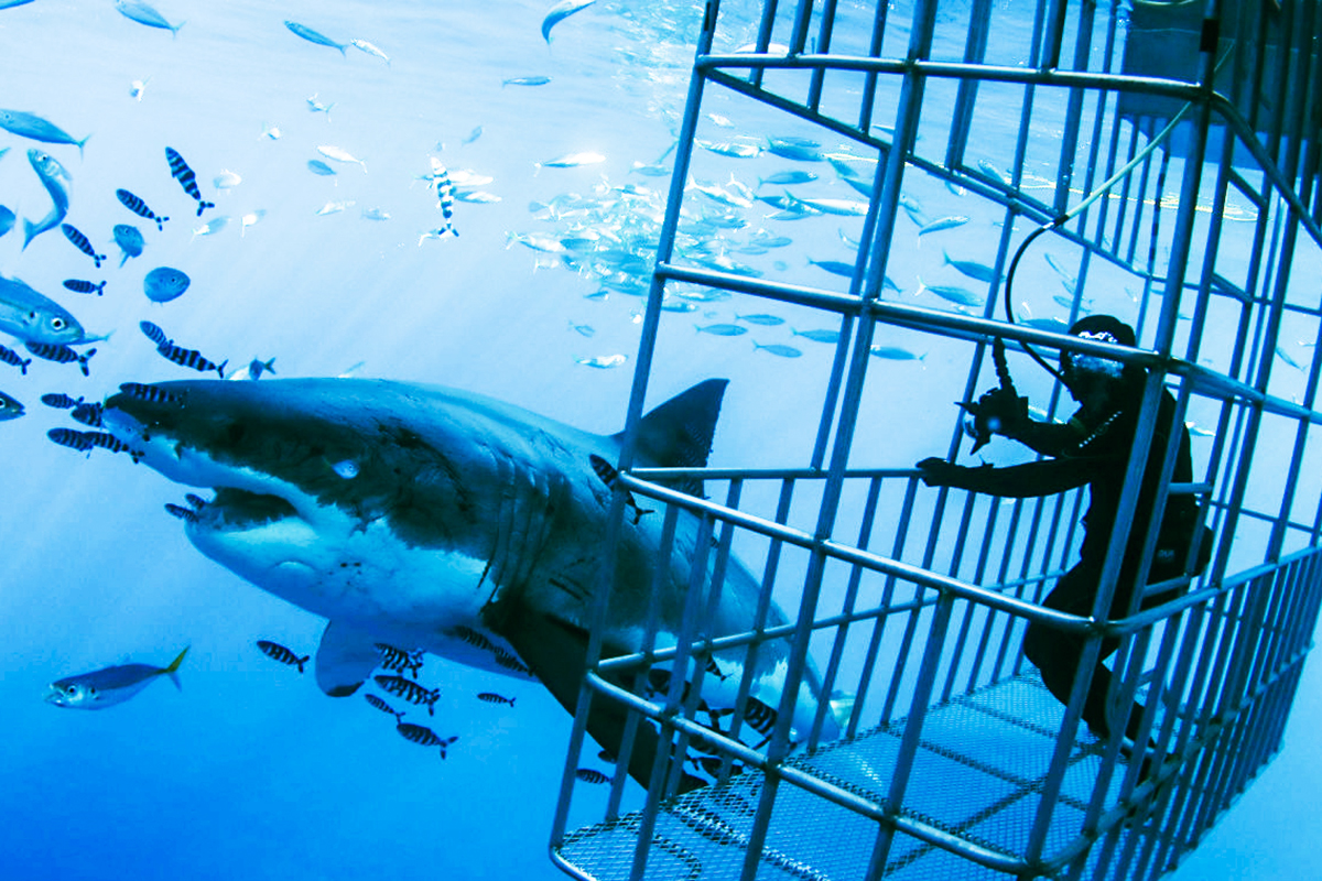 A huge great white swims close to the cages. Photo by Chad Williams