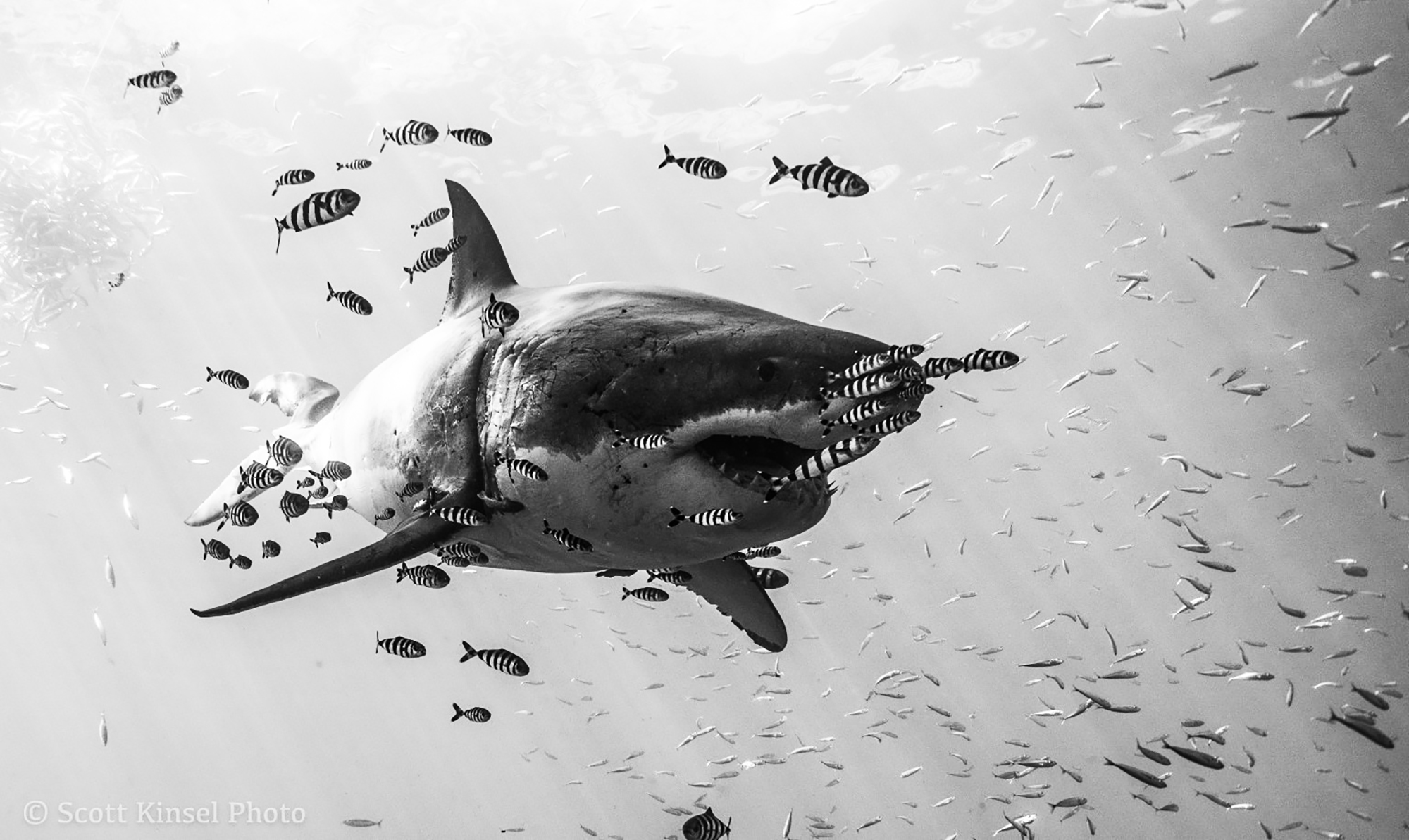 Black and White Shark by Scott Kinsel