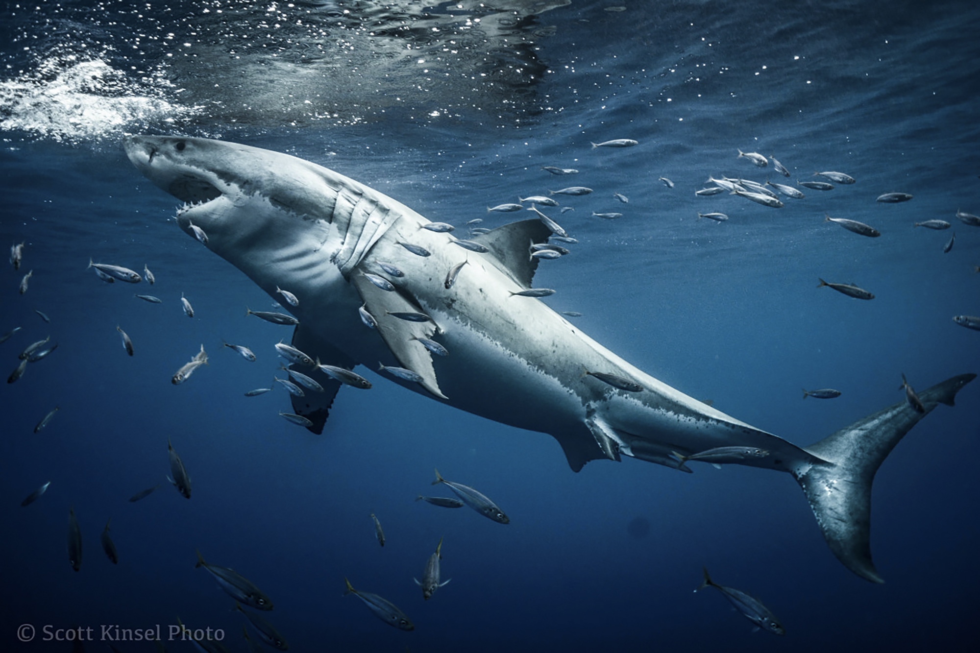 The beauty of a great white. Photo by Scott Kinsel